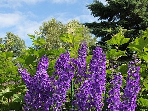 Glorious Delphiniums reach for the sky