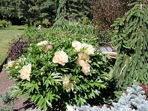 Itoh Peony Scrumdiddlyumptious is smothered in bloom