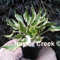photo of Hosta 'Bachelor Party' courtesy of Naylor Creek Nursery