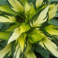 Hosta 'Orange Star' photo courtesy of Naylor Creek Nursery