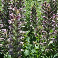 Acanthus hungaricus photo from Whitehouse Display Gardens