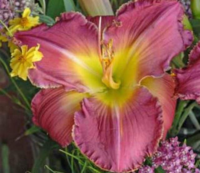 Daylily 'Advance Party' Photo courtesy of Walters Gardens