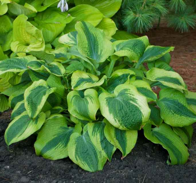 Hosta 'Afterglow' Photo courtesy of Walters Gardens