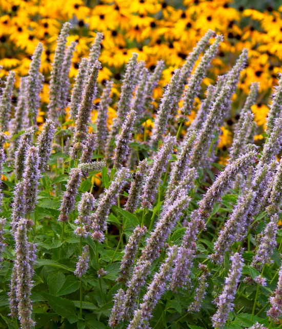 Agastache Blue Fortune photo courtesy of Walters Gardens
