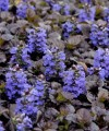 ajuga_black_scallop.jpg