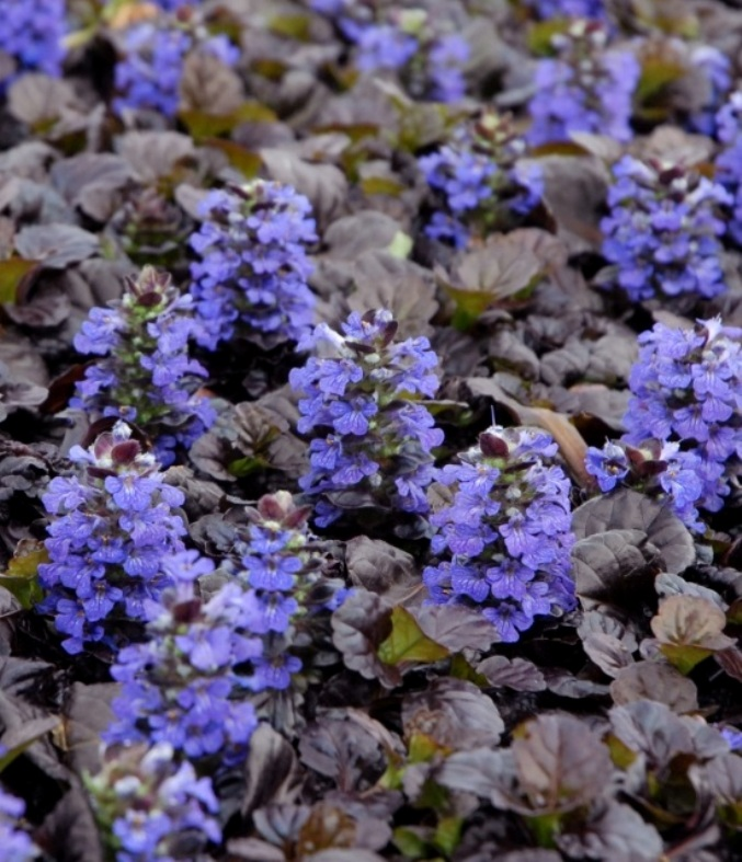 photo of Ajuga 'Black Scallop' courtesy of Walters Gardens