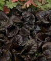 ajuga_black_scallop_foliage.jpg