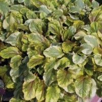 photo of Ajuga 'Golden Glow' courtesy of Ball Horticultural