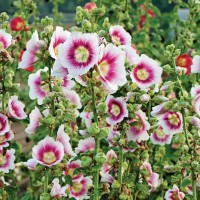 photo of Alcea 'Halo Blush' courtesy of Walters Gardens