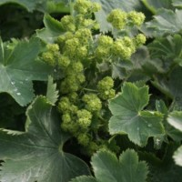 Alchemilla sericata Goldstrike photo courtesy of Paridon Horticultural