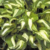 Hosta Allegan Fog photo courtesy of Q and Z Nursery