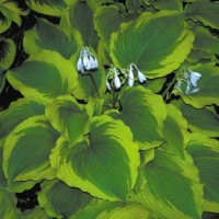 Hosta 'American Icon' Photo courtesy of Walters Gardens