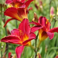 Daylily 'Angel Fire' photo Whitehouse Perennials