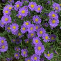 Aster 'Kickin Lilac Blue' photo courtesy of Walters Gardens