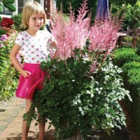 photo of Astilbe 'Mighty Pip' courtesy of Paridon Horticulture