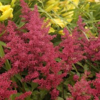 Astilbe 'Red Sentinel' photo courtesy of Walters Gardens