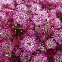 photo of Astrantia 'Abbey Road' courtesy of Paridon Horticulture