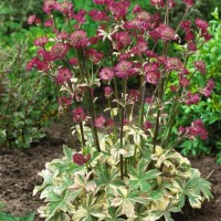 photo of Astrantia 'Star of Magic'