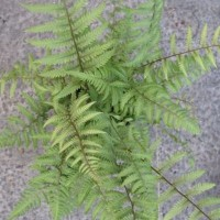 photo of Athyrium 'Branford Beauty' courtesy of Paridon Horticultural