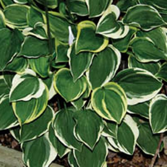 photo of Hosta 'Baby Booties' courtesy of Q and Z Nursery