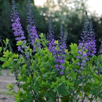 photo of Baptisia 'Blue Towers' courtesy of Plant Delights Nursery
