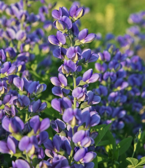 Baptisia 'Blueberry Sundae' photo courtesy of Walters Gardens