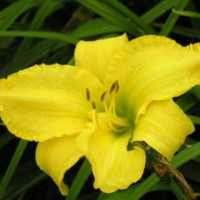 Daylily 'Bells Appealing' photo Whitehouse Nursery