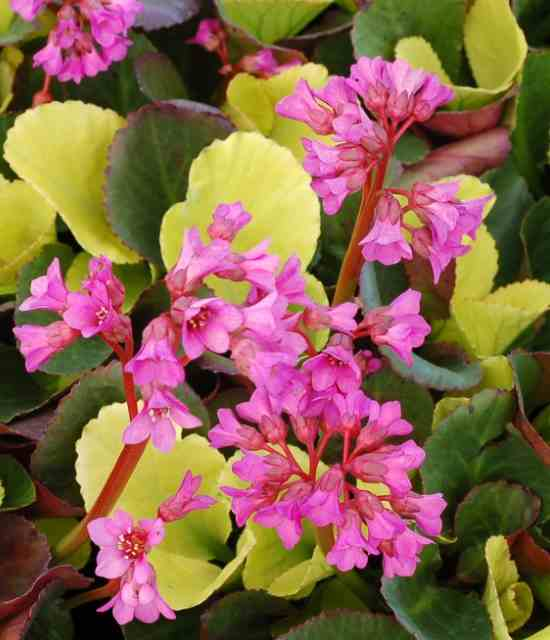 Bergenia 'Lunar Glow' photo courtesy of Terra Nova Nurseries