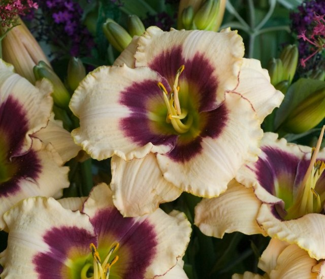 Daylily 'Blueberry Candy' photo courtesy of Walters Gardens