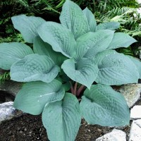 Hosta 'Blueberry Muffin' Photo courtesy of Walters Gardens