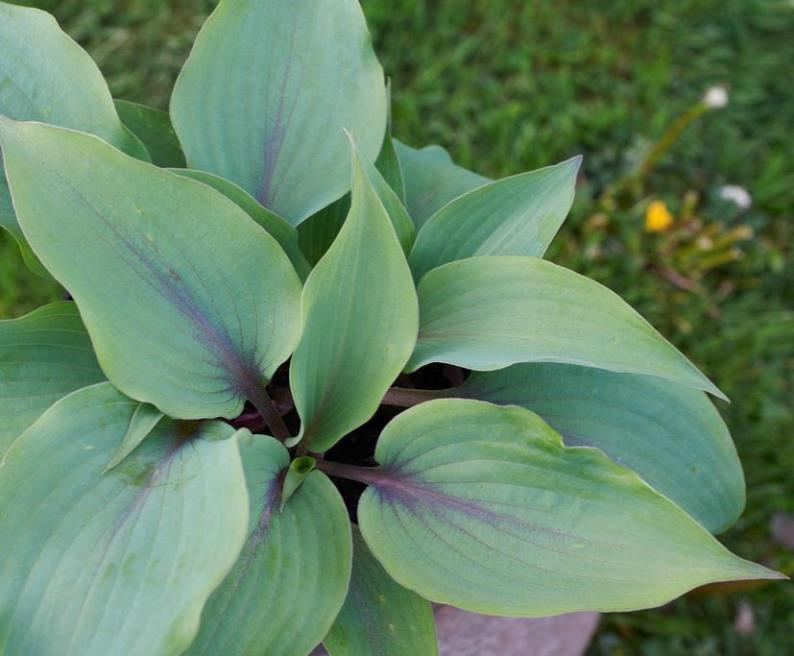 Hosta 'Blushing Blue' photo courtesy of Naylor Creek Nursery