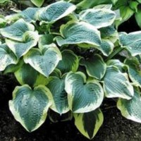 Hosta 'Brass Ring' Photo courtesy of Walters Gardens