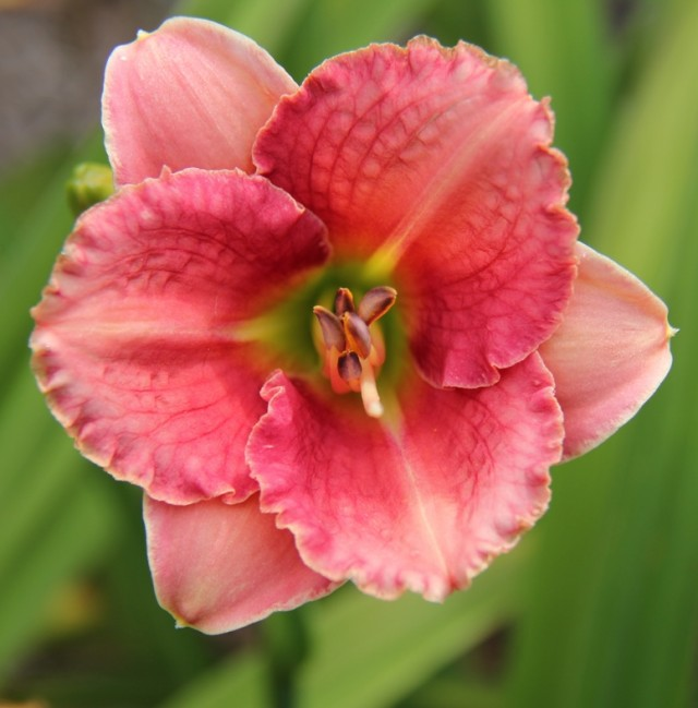 Daylily 'Broadway Pink Slippers' photo Whitehouse Nursery and Display Gardens
