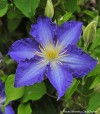 brother_stefan_clematis_blooms.jpg