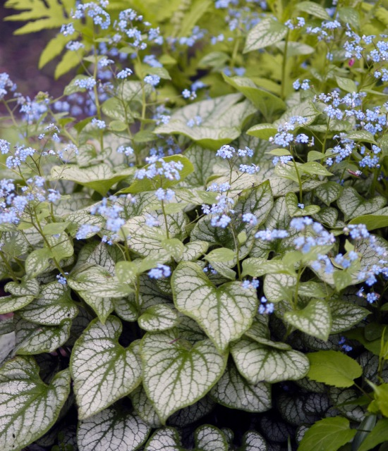 Brunnera macrophylla 'Jack Frost' photo courtesy Walters Gardens