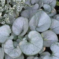 Brunnera macrophylla 'Silver Heart' photo courtesy of Paridon Horticultural