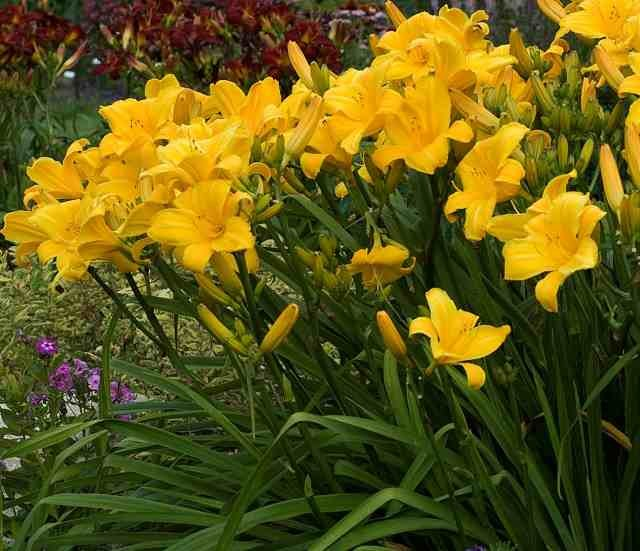 Daylily 'Buttered Popcorn' photo courtesy of Walters Gardens