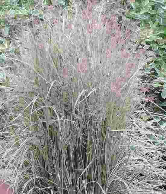 Calamagrostis acutiflora Overdam photo courtesy of Walters Gardens