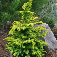 Chamaecyparis obtusa 'Fernspray Gold' photo courtesy of Iseli Nursery