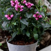 Chelone 'Tiny Tortuga' photo courtesy of Paridon Horticultural