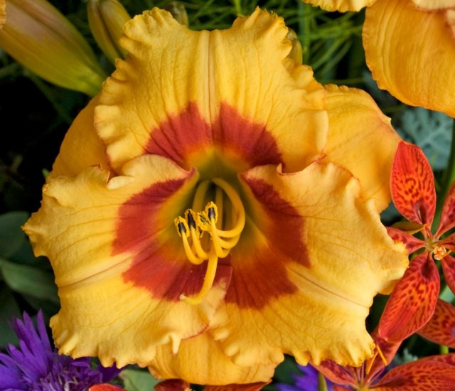 Daylily 'Cherry Candy' photo courtesy of Walters Gardens