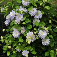 photo of Clematis 'Diamond Ball' courtesy of Proven Winners