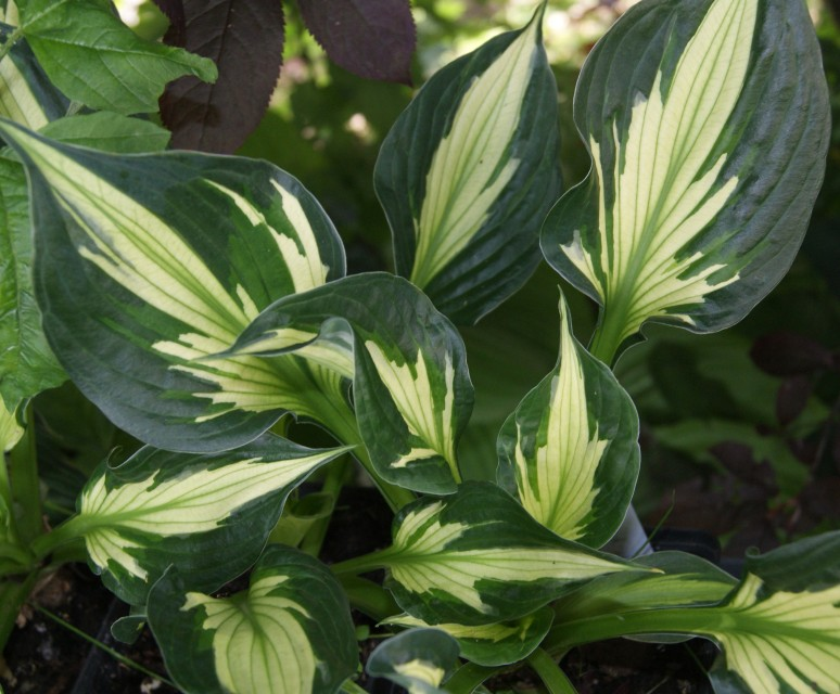Hosta 'Colored Hulk' photo courtesy of Naylor Creek Nursery