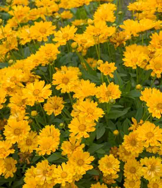 Coreopsis 'Jethro Tull' photo courtesy of Walters Gardens