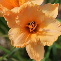 Daylily 'Dance Ballerina Dance' photo Whitehouse Nursery and Display Gardens