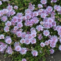 Delosperma 'Lavender Ice' photo courtesy of Walters Gardens