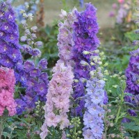 photo of Delphinium 'Dwarf Stars' courtesy of Dowdeswell's Delphiniums