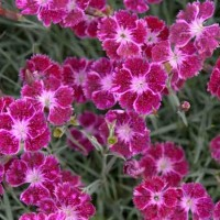Dianthus 'Sangria Splash' photo courtesy of Walters Gardens