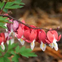 Dicentra spectabilis 'Valentine' photo courtesy of Visions