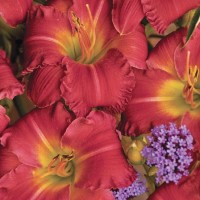 Daylily 'Earlybird Cardinal' Photo Centerton Nursery